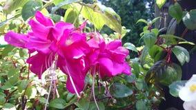 Φούξια ρόδινα άνθη απόθεμα βίντεο