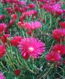 Φούξια χρωματισμένα λουλούδια κάκτων Στοκ Φωτογραφίες