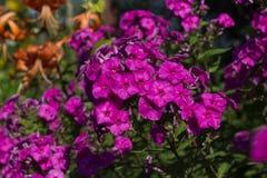 Φούξια χρώμα Phlox Phlox στο θερινό κήπο στοκ εικόνα με δικαίωμα ελεύθερης χρήσης