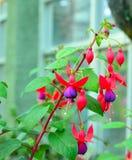 Φούξια, onagraceae, φούξια κολιβρίων Στοκ Φωτογραφία