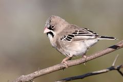 Φολιδωτός-επενδυμένο με φτερά πουλί υφαντών Στοκ εικόνες με δικαίωμα ελεύθερης χρήσης