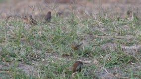 Φολιδωτός-τα πουλιά Munia στηργμένος στο πάτωμα μετά από να φάει απόθεμα βίντεο