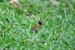 Φολιδωτό πουλί Breasted Munia που τρώει το σπόρο χλόης στο χορτοτάπητα Στοκ εικόνες με δικαίωμα ελεύθερης χρήσης