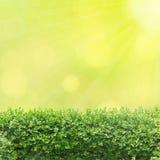 Φράκτης δέντρων κιβωτίων Στοκ εικόνες με δικαίωμα ελεύθερης χρήσης