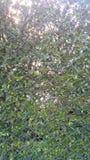 Φράκτης δέντρων Στοκ εικόνα με δικαίωμα ελεύθερης χρήσης