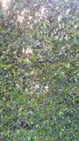 Φράκτης δέντρων Στοκ φωτογραφίες με δικαίωμα ελεύθερης χρήσης