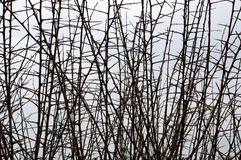 Φράκτης κραταίγου το χειμώνα Στοκ φωτογραφία με δικαίωμα ελεύθερης χρήσης