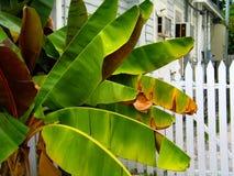 Φράκτης στύλων εξωτερικού δέντρων μπανανών στη γειτονιά της Key West στοκ εικόνες