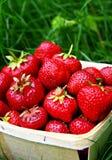 φράουλα επιλογής στοκ εικόνες με δικαίωμα ελεύθερης χρήσης