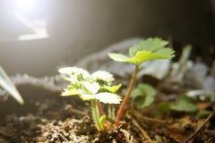Φράουλα θάμνων νεαρών βλαστών στον ήλιο το πρωί που καλλιεργεί τη συγκομιδή φυτικών κήπων στοκ φωτογραφία με δικαίωμα ελεύθερης χρήσης