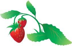 φράουλα θάμνων Στοκ Εικόνες