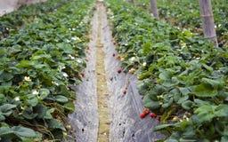 φράουλα θερμοκηπίων Στοκ Εικόνα