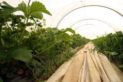 φράουλα θερμοκηπίων Στοκ εικόνα με δικαίωμα ελεύθερης χρήσης