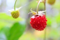Φράουλα μούρων δασικός, ώριμος και κόκκινος Στοκ φωτογραφία με δικαίωμα ελεύθερης χρήσης