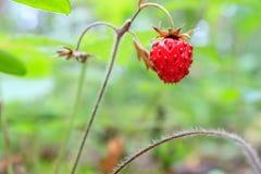 Φράουλα μούρων δασικός, ώριμος και κόκκινος Στοκ εικόνα με δικαίωμα ελεύθερης χρήσης