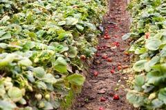 φράουλα πεδίων Στοκ φωτογραφία με δικαίωμα ελεύθερης χρήσης