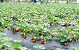 φράουλα πεδίων Στοκ φωτογραφίες με δικαίωμα ελεύθερης χρήσης