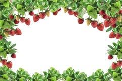φράουλα πλαισίων Στοκ Εικόνες