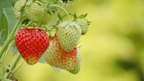 Φράουλα που γίνεται κόκκινη στοκ φωτογραφίες με δικαίωμα ελεύθερης χρήσης