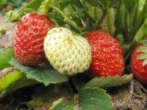 φράουλα σπορείων Στοκ Φωτογραφία