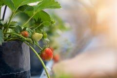 Φράουλα στη μαύρη τσάντα στο αγρόκτημα θερμοκηπίων Στοκ φωτογραφία με δικαίωμα ελεύθερης χρήσης