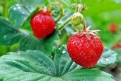 φράουλα φυτειών στοκ φωτογραφίες με δικαίωμα ελεύθερης χρήσης
