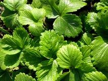 φράουλα φυτών ανασκόπηση&sigma Στοκ εικόνα με δικαίωμα ελεύθερης χρήσης