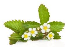 φράουλα φυτών λουλουδ& Στοκ φωτογραφία με δικαίωμα ελεύθερης χρήσης