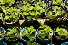 φράουλα φυτών Στοκ Εικόνα