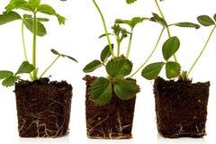 φράουλα φυτών Στοκ φωτογραφίες με δικαίωμα ελεύθερης χρήσης
