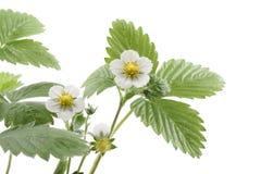 φράουλα φυτών Στοκ Φωτογραφίες
