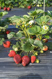 φράουλα φυτών Στοκ Φωτογραφία