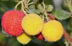 Φράουλα όπως τους καρπούς του unedo Arbutus, δέντρο φραουλών Στοκ Εικόνες