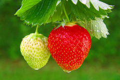 φράουλα Στοκ εικόνες με δικαίωμα ελεύθερης χρήσης