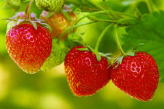 φράουλα Στοκ φωτογραφία με δικαίωμα ελεύθερης χρήσης