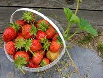 Φράουλα INT ο κάδος, που συγκομίζεται στον κήπο στοκ εικόνες με δικαίωμα ελεύθερης χρήσης
