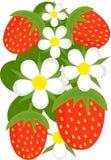 φράουλες ανασκόπησης Στοκ Φωτογραφία