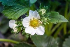 Φράουλες λουλουδιών με τα πράσινα φύλλα στοκ φωτογραφία