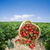φράουλες πεδίων καλαθι Στοκ φωτογραφίες με δικαίωμα ελεύθερης χρήσης