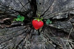 Φράουλες σε ένα ξύλινο κολόβωμα στοκ φωτογραφία με δικαίωμα ελεύθερης χρήσης