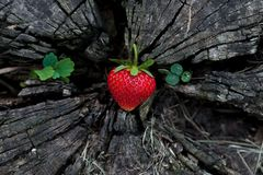 Φράουλες σε ένα ξύλινο κολόβωμα στοκ εικόνες με δικαίωμα ελεύθερης χρήσης