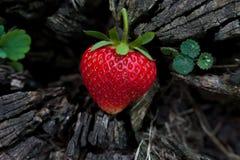 Φράουλες σε ένα ξύλινο κολόβωμα Στοκ φωτογραφίες με δικαίωμα ελεύθερης χρήσης