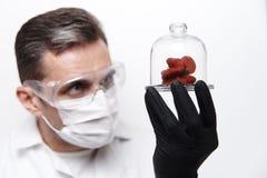 Φράουλες της παράξενης μορφής κάτω από ένα καπάκι γυαλιού στα χέρια ενός επιστήμονα στοκ εικόνες
