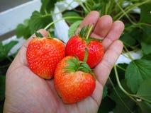 Φράουλες υπό εξέταση στοκ φωτογραφία