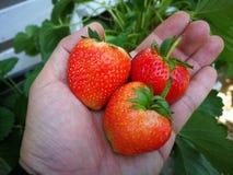 Φράουλες υπό εξέταση στοκ φωτογραφίες με δικαίωμα ελεύθερης χρήσης