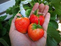 Φράουλες υπό εξέταση στοκ εικόνες