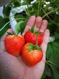 Φράουλες υπό εξέταση στοκ φωτογραφία με δικαίωμα ελεύθερης χρήσης