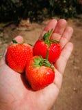 Φράουλες υπό εξέταση στοκ εικόνα με δικαίωμα ελεύθερης χρήσης