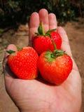Φράουλες υπό εξέταση στοκ εικόνα