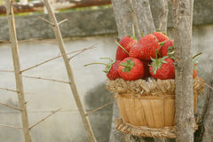 Φράουλα, εστίαση στην ομάδα φράουλας στοκ φωτογραφίες